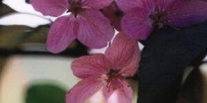 Radiant Crabapple Garden Plant
