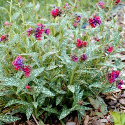 Raspberry Splash Lungwort Garden Plant