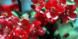Red Baron Crabapple Tree Garden Plant