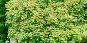Red Buckeye Garden Plant