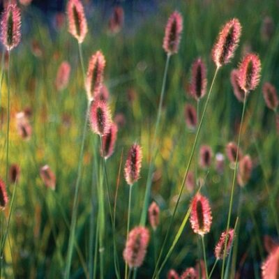 Red Bunny Tails Fountain Grass Garden Plant