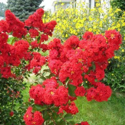 Red Crape Myrtle Garden Plant
