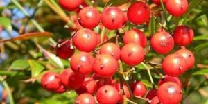 Red Cushion Firethorn Garden Plant