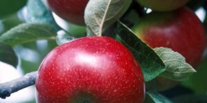 Red Delicious Apple Tree Garden Plant