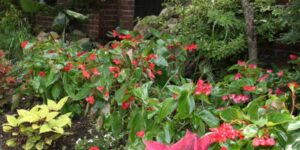 Red Dragon Wing Begonia Garden Plant
