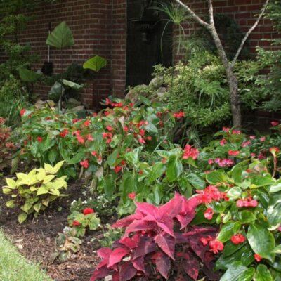 Buy Red Dragon Wing Begonia