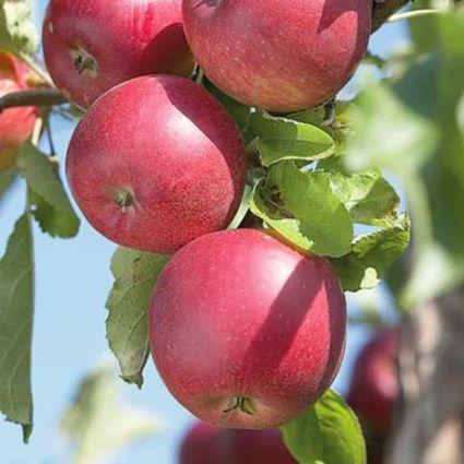 Red Jonathan Apple Tree Garden Plant