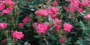 Red Knock Out Rose Shrub Garden Plant