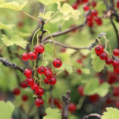 Red Lake Currant Garden Plant