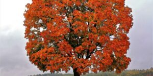 Red Maple Tree Garden Plant