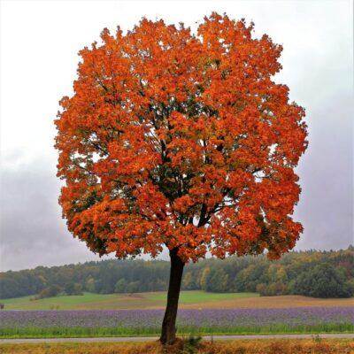 Red Maple Tree Garden Plant
