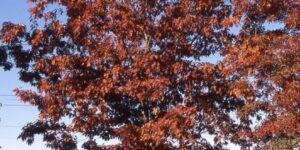Red Oak Tree Garden Plant
