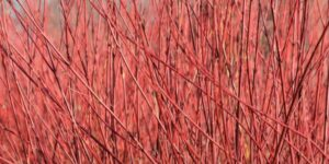 Red Osier Dogwood Garden Plant