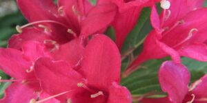 Red Prince Weigela Shrub Garden Plant