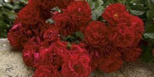 Red Ribbons Rose Garden Plant