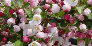 Red Sargent Crabapple Tree Garden Plant