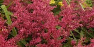 Red Sentinel Astilbe Garden Plant