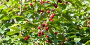 Red Sprite Holly Garden Plant