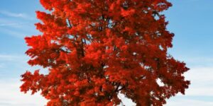 Red Sunset Maple Garden Plant