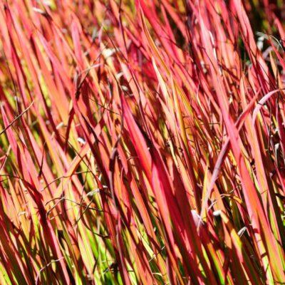Red Switch Grass Garden Plant