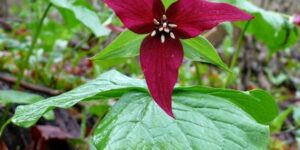 Red Trillium Garden Plant