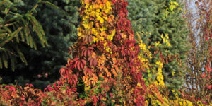 Red Wall Virginia Creeper Garden Plant