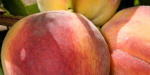 Redhaven Peach Tree Garden Plant
