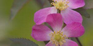 Redleaf Rose Garden Plant