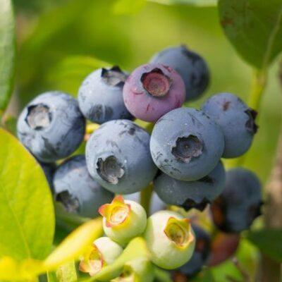 Reka Blueberry Garden Plant