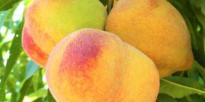 Reliance Peach Tree Garden Plant