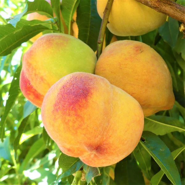 Reliance Peach Tree Garden Plant