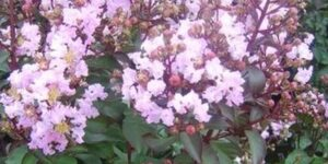 Rhapsody in Pink Crape Myrtle Garden Plant