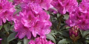Rhododendron Anah Kruschke Garden Plant