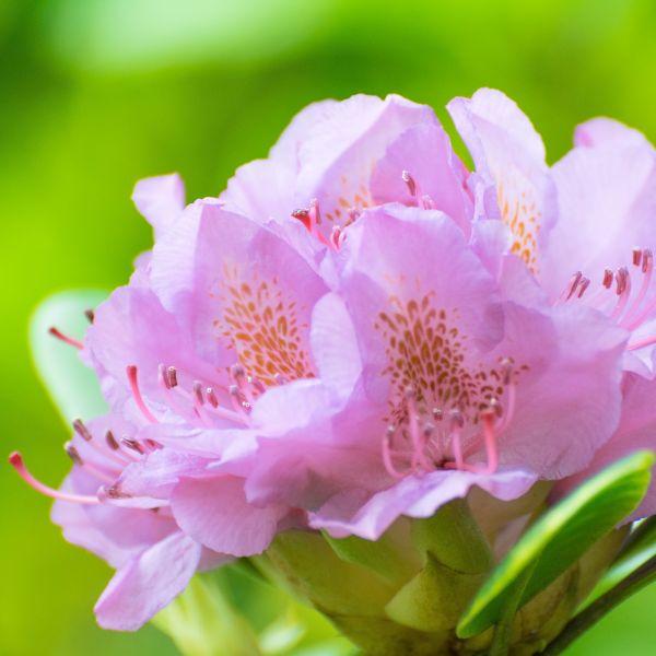 Rhododendron Vernus Garden Plant