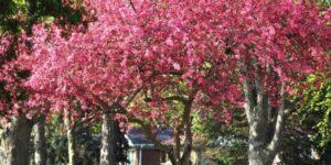 Robinson Crabapple Tree Garden Plant