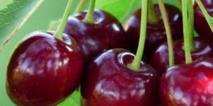 Romeo Dwarf Cherry Tree Garden Plant