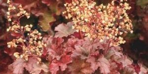 Root Beer Coral Bells Garden Plant