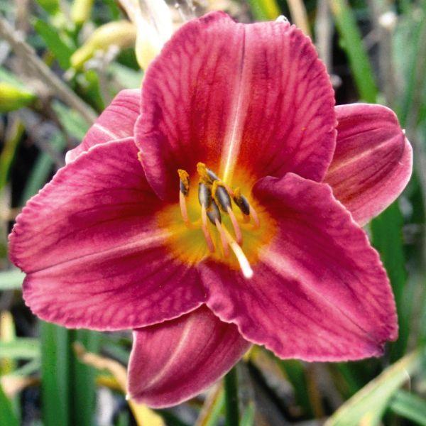Rosy Returns Daylily Garden Plant