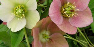 Royal Heritage Strain Lenten Rose Garden Plant