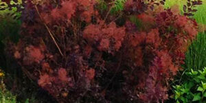 Royal Purple Smokebush Garden Plant