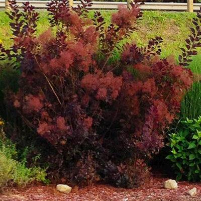 Royal Purple Smokebush Garden Plant