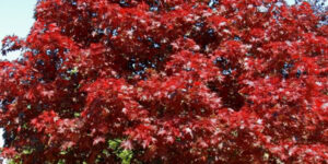 Royal Red Maple Garden Plant