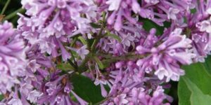 Royalty Lilac Garden Plant