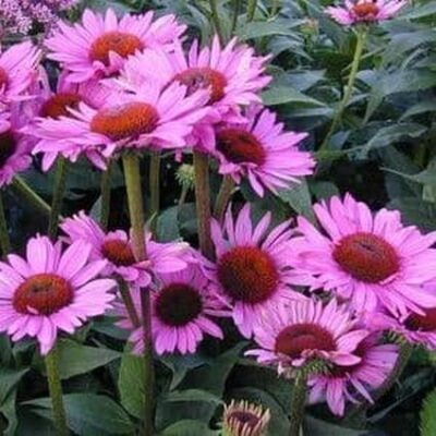 Ruby Giant Coneflower Garden Plant