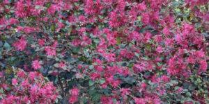 Ruby Loropetalum Garden Plant