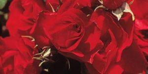 Ruby Meidiland Rose Garden Plant
