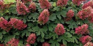 Ruby Slippers Hydrangea Garden Plant
