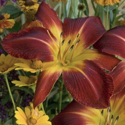Ruby Spider Daylily Garden Plant