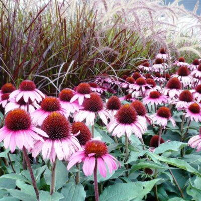 Ruby Star Coneflower Garden Plant
