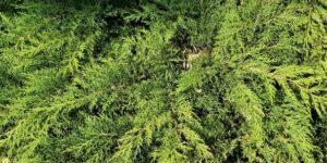 Russian Cypress Garden Plant